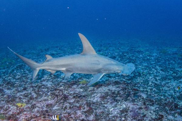 One great hammerhead shark in Rangiroa